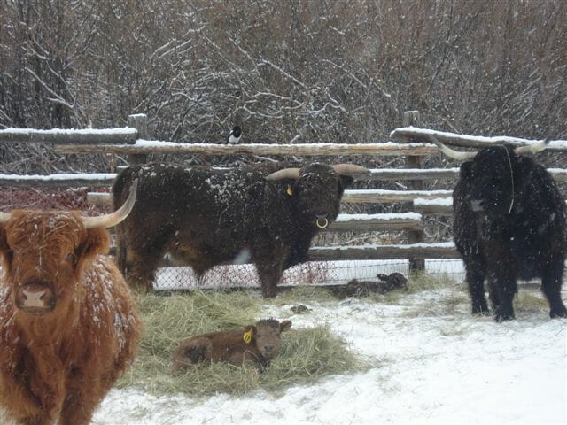 Colorado Side of Beef Scottish Highlander Calfs