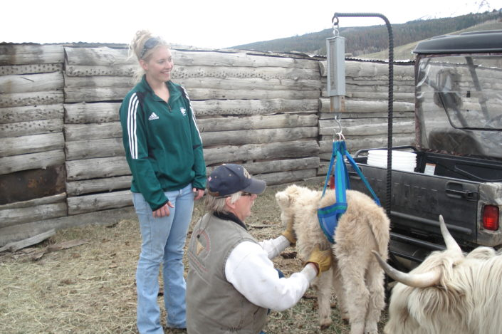 Colorado Side of Beef Ranch Weighing