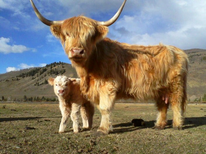 Scottish Highlander Cattle and Calf
